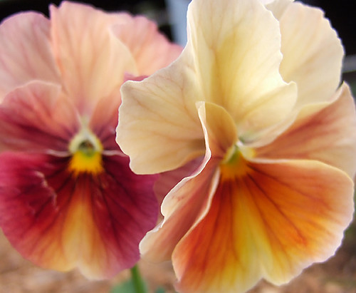 pansy  antique shades 3  the juxtaposition of