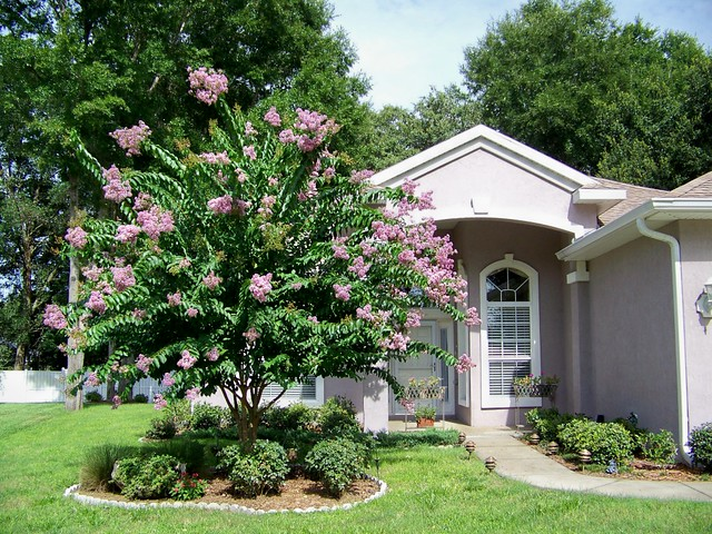 crepe myrtle tree in front yard