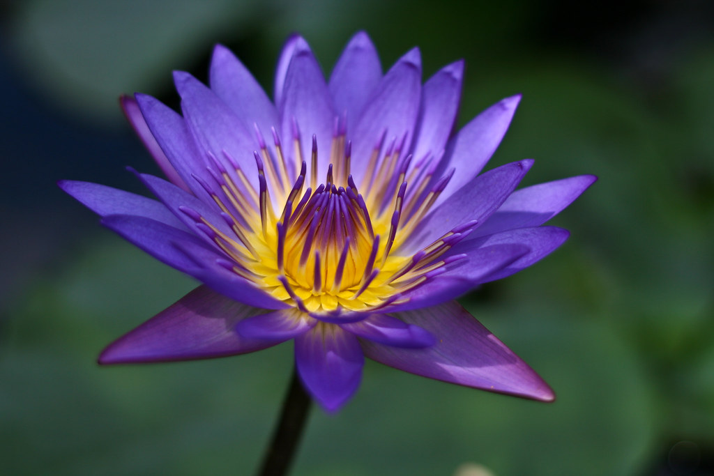 Purple Lotus Nelumbo Nucifera One Of My Favorite Shoot