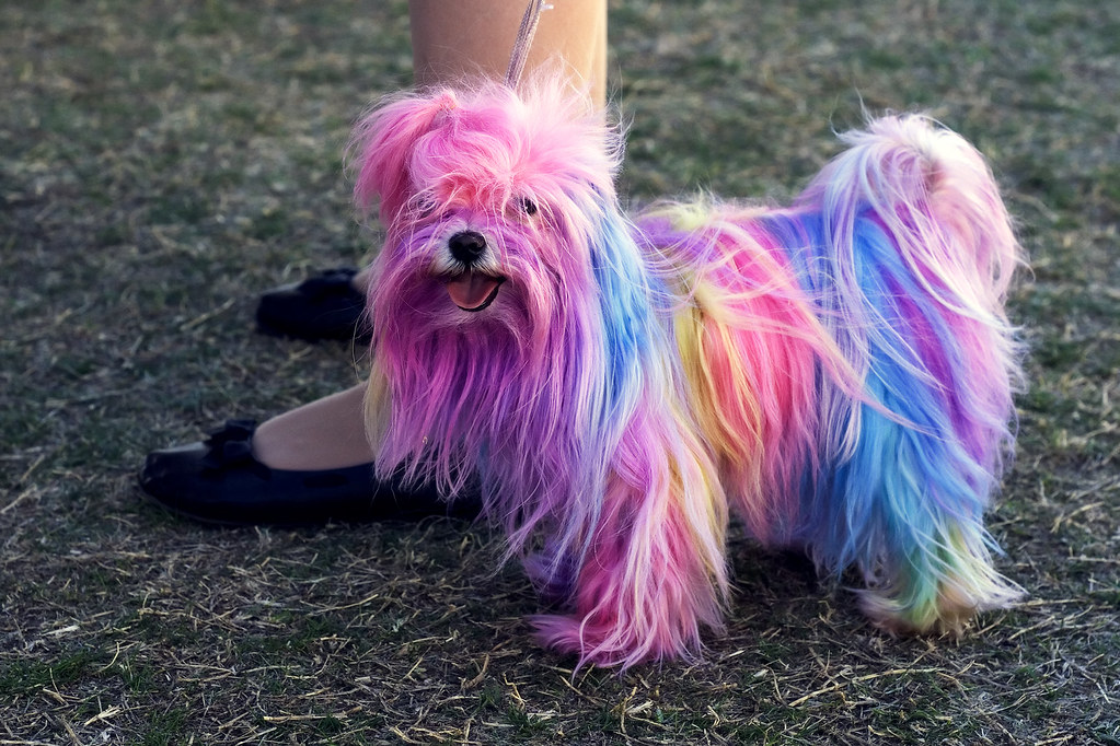 The Polychromatic Maltese  There are over 3000 purebred