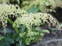 Mystery fern   Lovely rock garden fern Beacon Hill Park ...