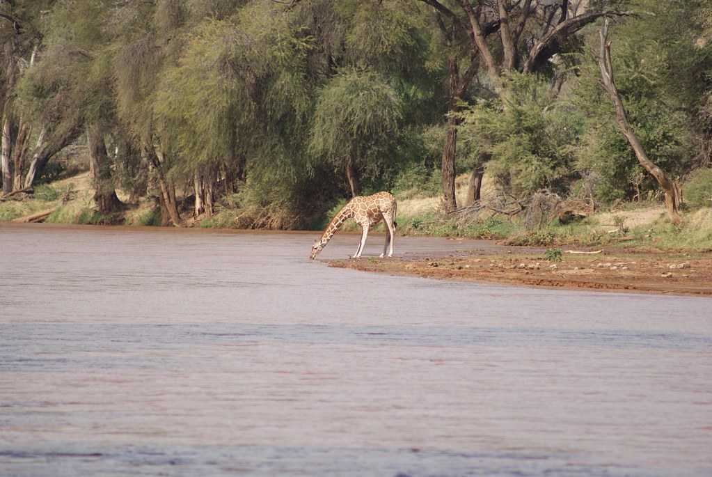 Giraffe at Ewaso Ngiro River Samburu National Park Keny  Flickr