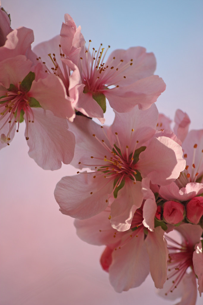 Sakura  Sakura Japanese kanji   or  hiragana