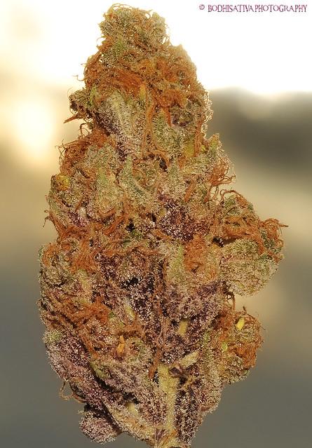 Medical Cannabis Sb420 Pink Panther Indica Norcal