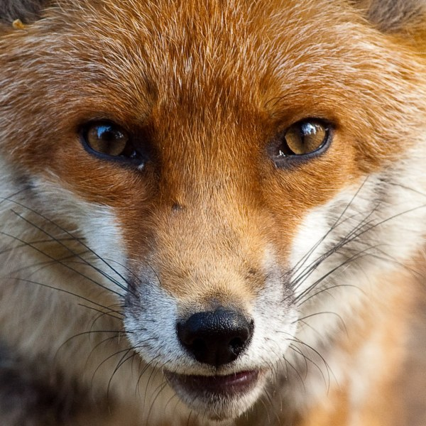 Fox Close Good Whisker Action. Whiskers Over