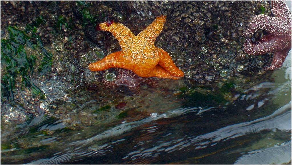 Tight Ass Orange Starfish  At low tide on Shi Shi Beach