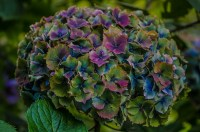 world famous antique hydrangeas