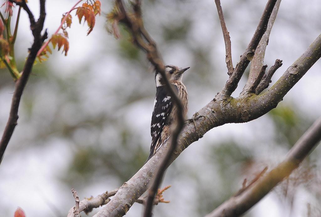 小啄木鳥 - 大安國小飛羽寶貝