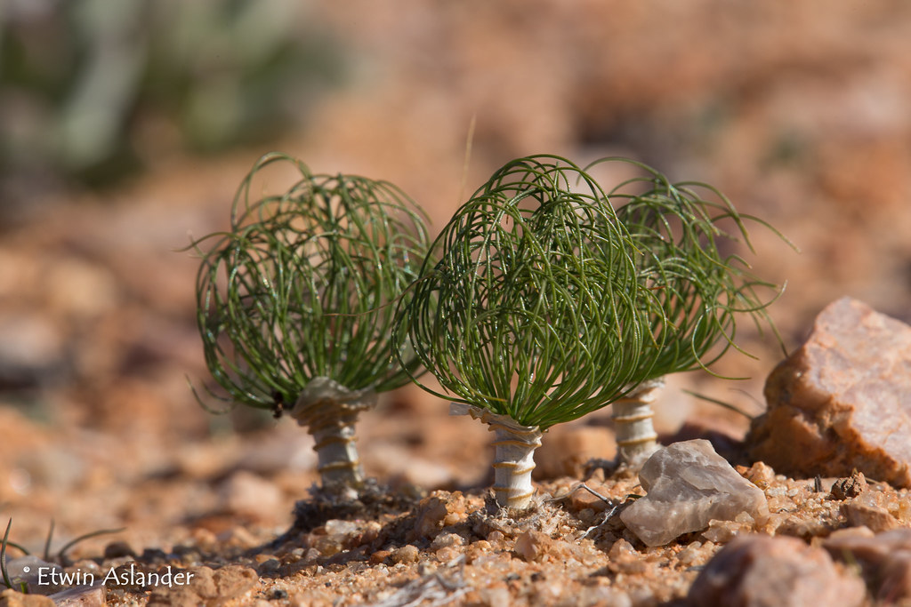 Drimia multifolia  Photographed just north of the