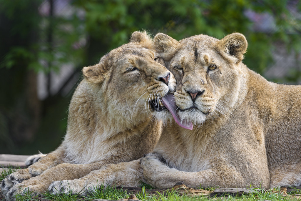 Free Cute Couple Wallpaper Lionesses Licking Each Other Ii Next Shot Of The Two