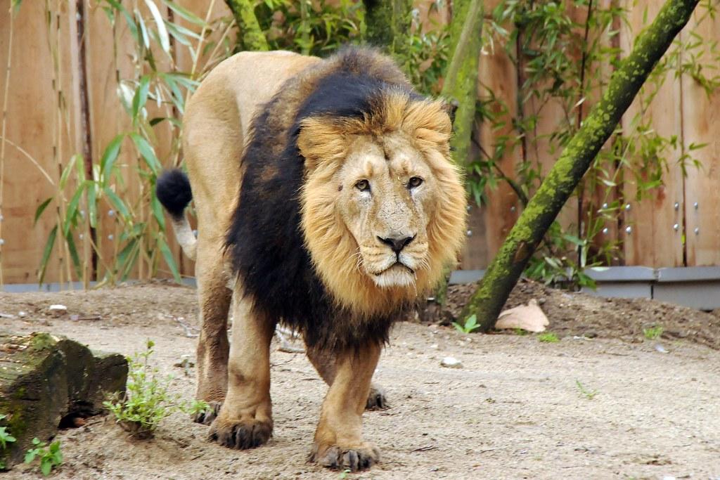 panthera leo persica  Lwe Kaschi  Lion Kaschi