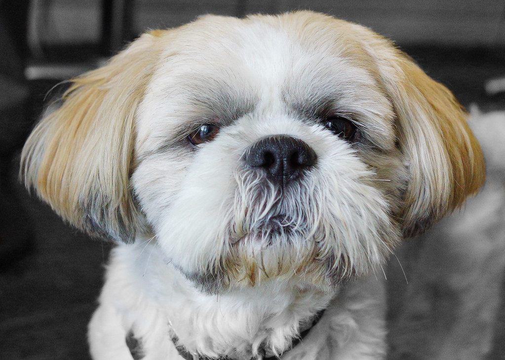 Gizmo  Little Gizmo is a Shih tzu who belongs to my