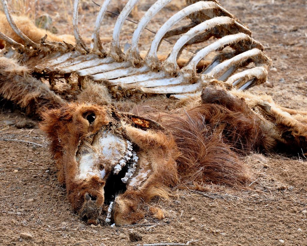 Dead Elk  Skin and Bones  Same elk 5 months earlier www
