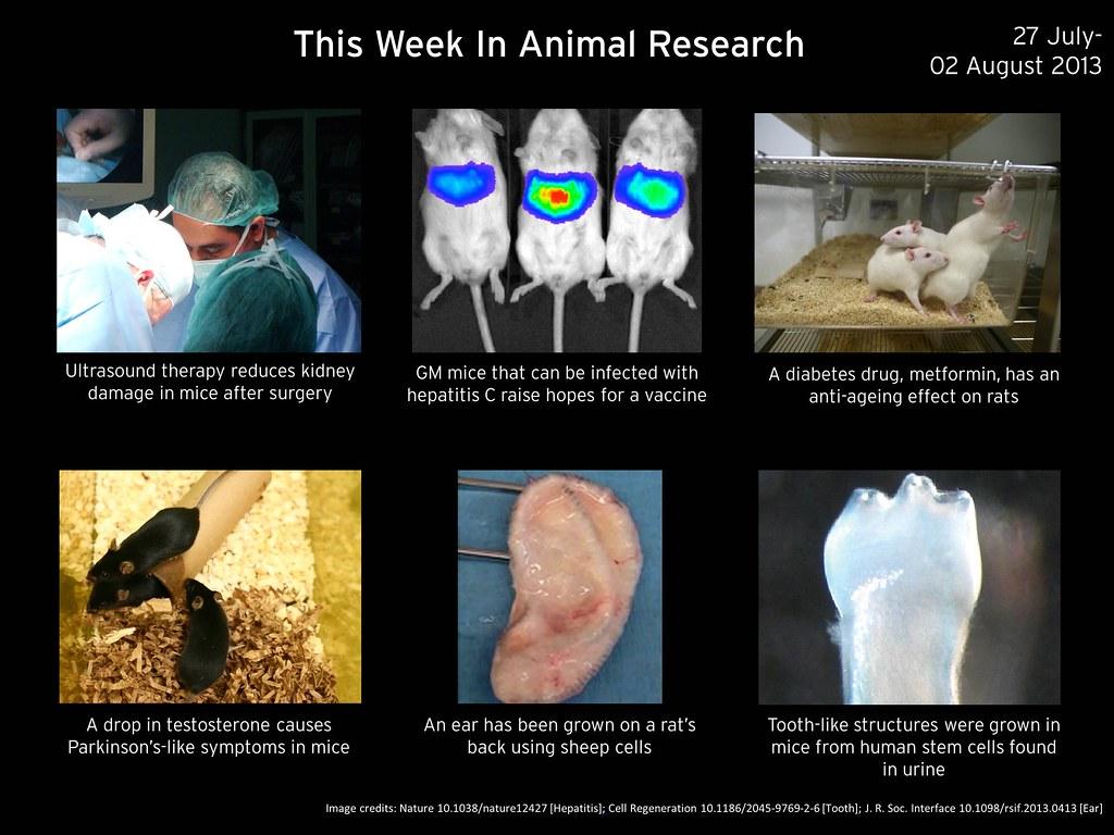 0802 animal research aging mice hepatitis animal testing