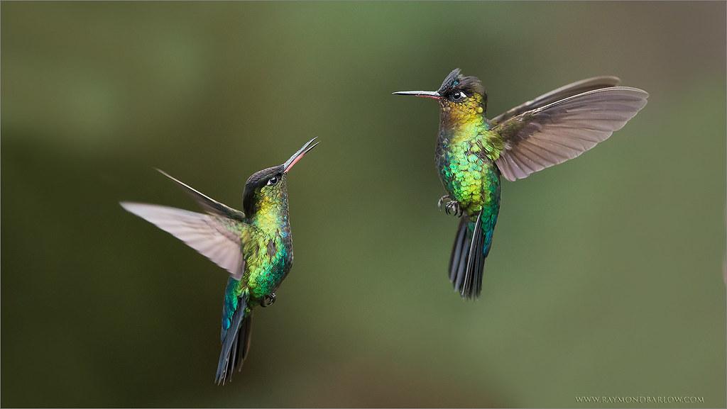 Fiery Throated Hummingbirds In Flight Dreams Come True A S Flickr