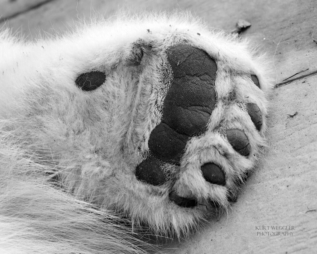 Polar Bear Paw B Amp W