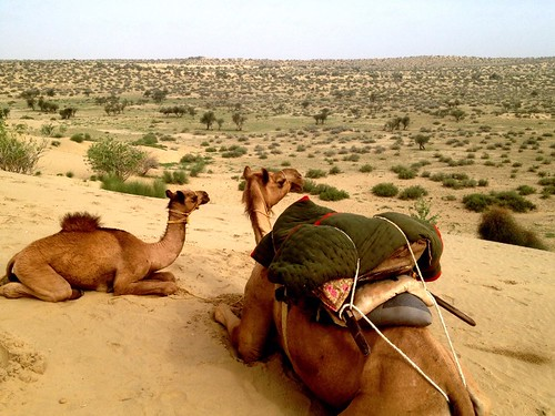 mother and little camels squatting and staring at the desert
