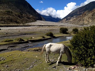 white horse in a valley in annapurna