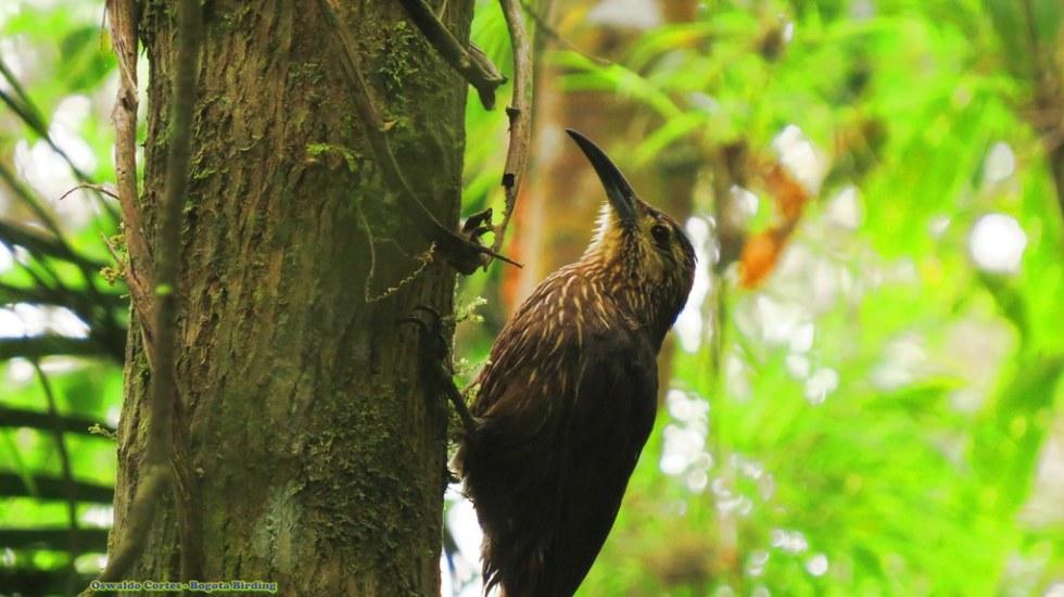 Strong-billed Woodcreeper, Xiphocolaptes promeropirhynchus, Parque Nacional Natural Chingaza, Bogota Birding