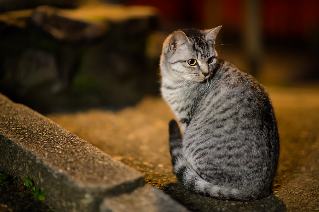 A cat in Fushimi Inari Shrine  I saw a lot of cats in