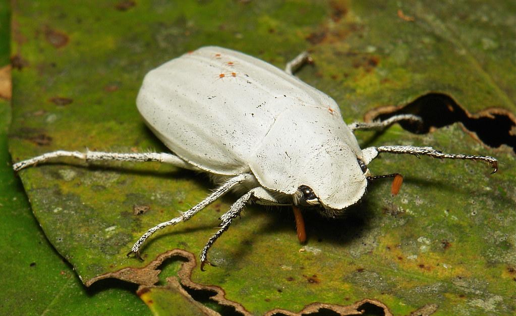 White Scarab Beetle Cyphochilus Insulanus Melolonthinae