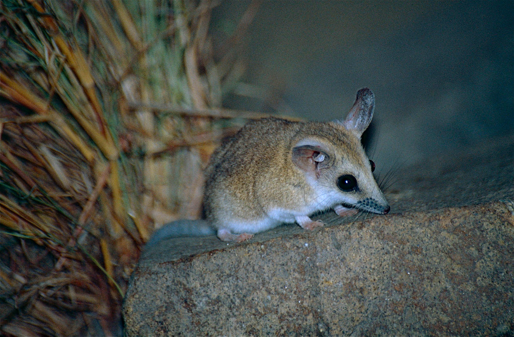 3d 3d Wallpaper Fat Tailed Dunnart Sminthopsis Crassicaudata David
