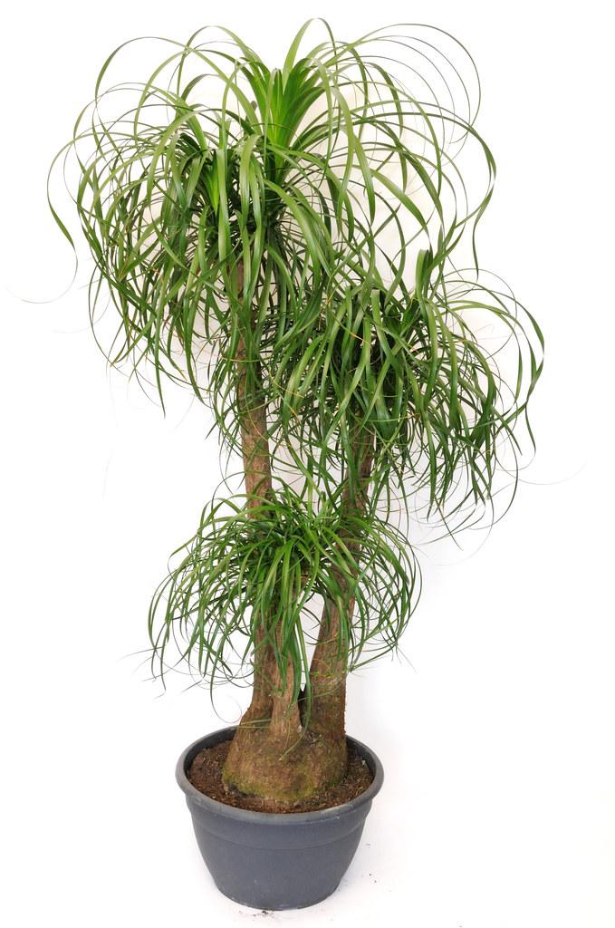 Beaucarnea Pony Tail Palm Tree  Beaucarnea  Mike