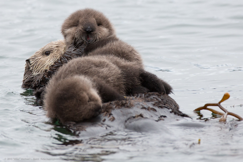 Otter Cute Wallpaper Mother Sea Otter With Rare Twin Baby Pups Mother Sea