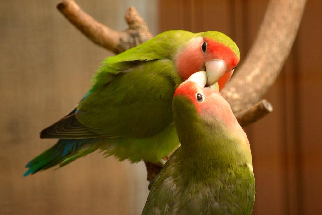 Peach Faced Lovebirds Daniel Ramirez Flickr