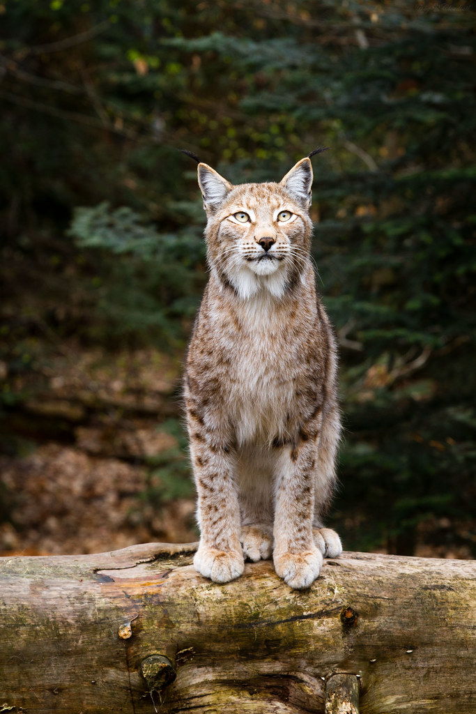female lynx  A picture from a female lynx Ive taken at