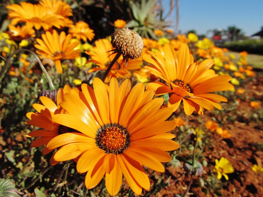 Namaqualand Daisies It Looks As Though Spring Must Be On