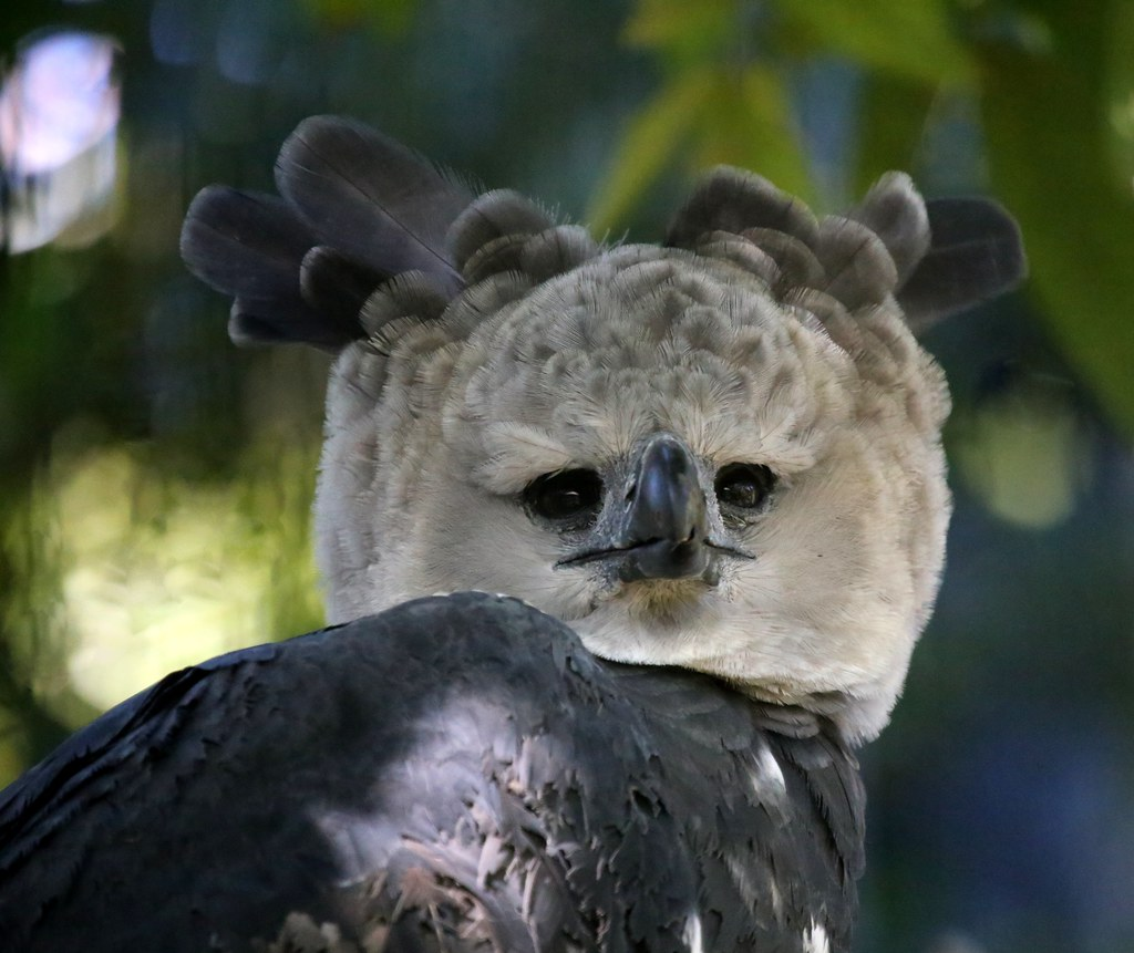 Harpy Eagle  REGIONSouth America Harpy eagles are conside  Flickr