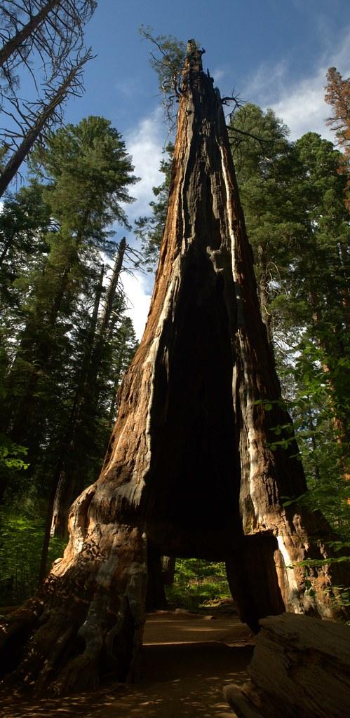 Pioneer Cabin Tree  By 1860 the Calaveras Big Trees was