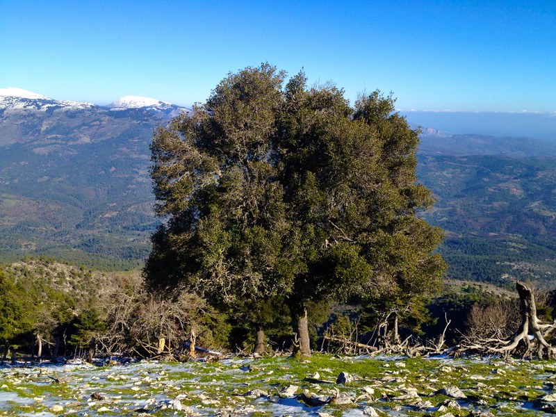 hiking near athens - quercus coccifera tree on mount olympus in euboea