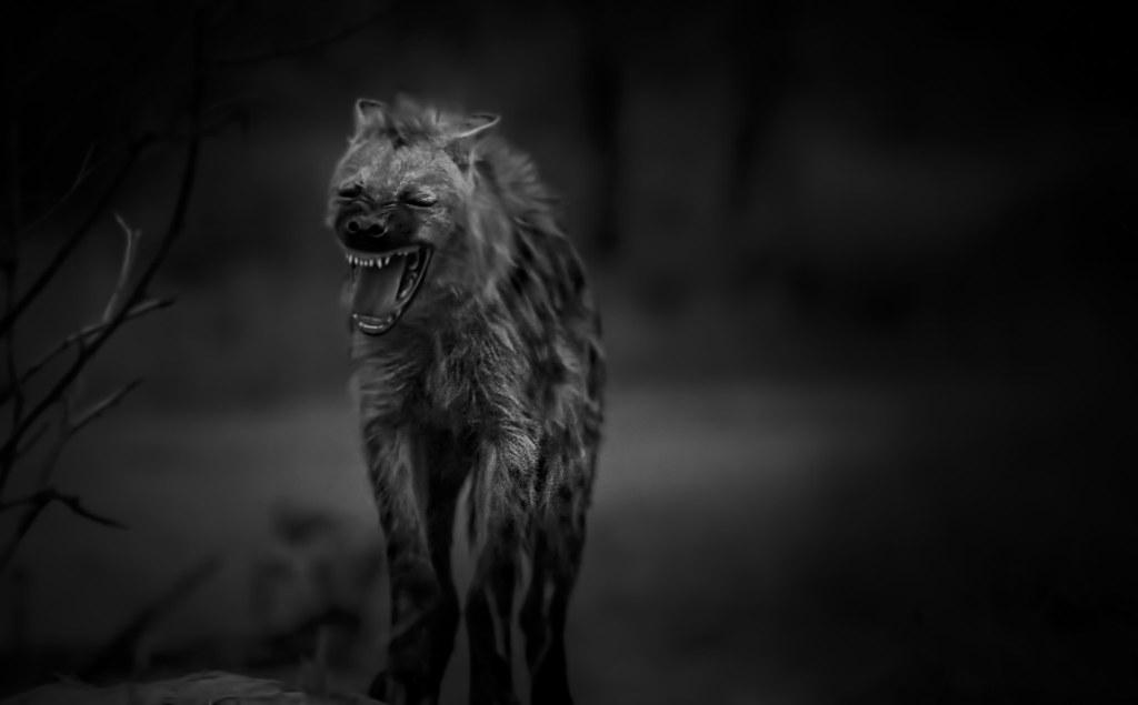 Tattoo Wallpaper 3d Laughing Hyena Spotted Hyena Crocuta Crocuta Also
