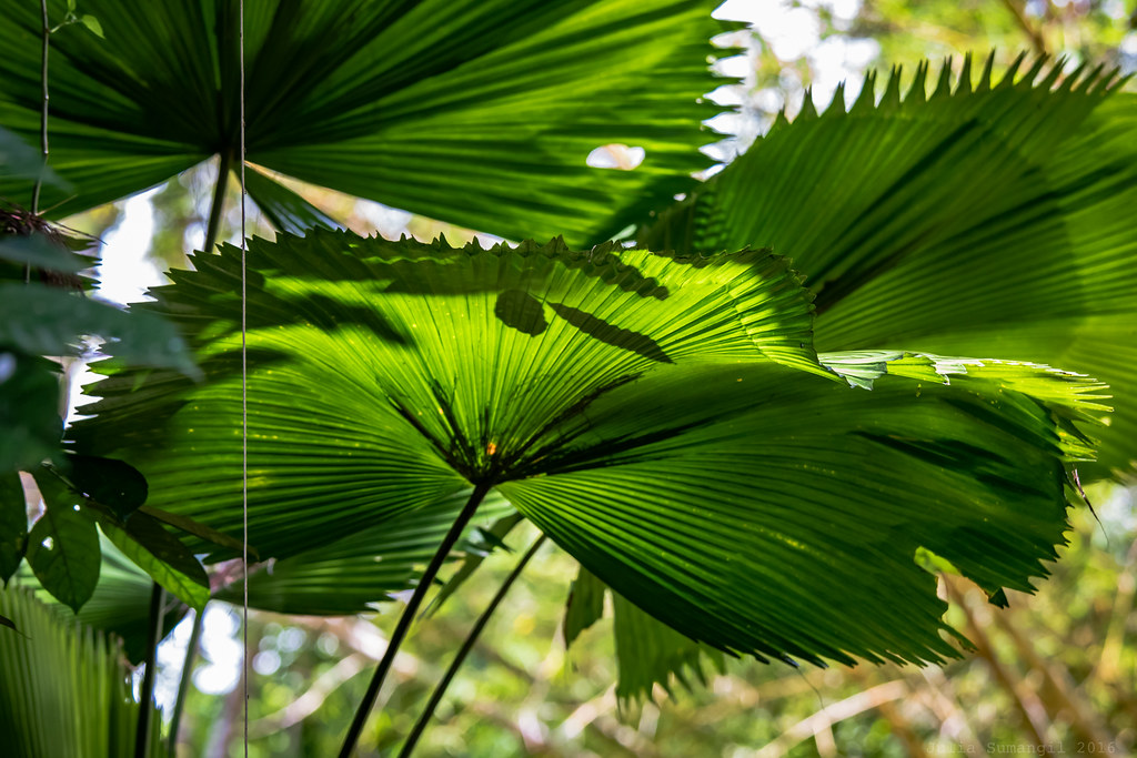 Anahaw  Anahaw is the national leaf of the Philippines A