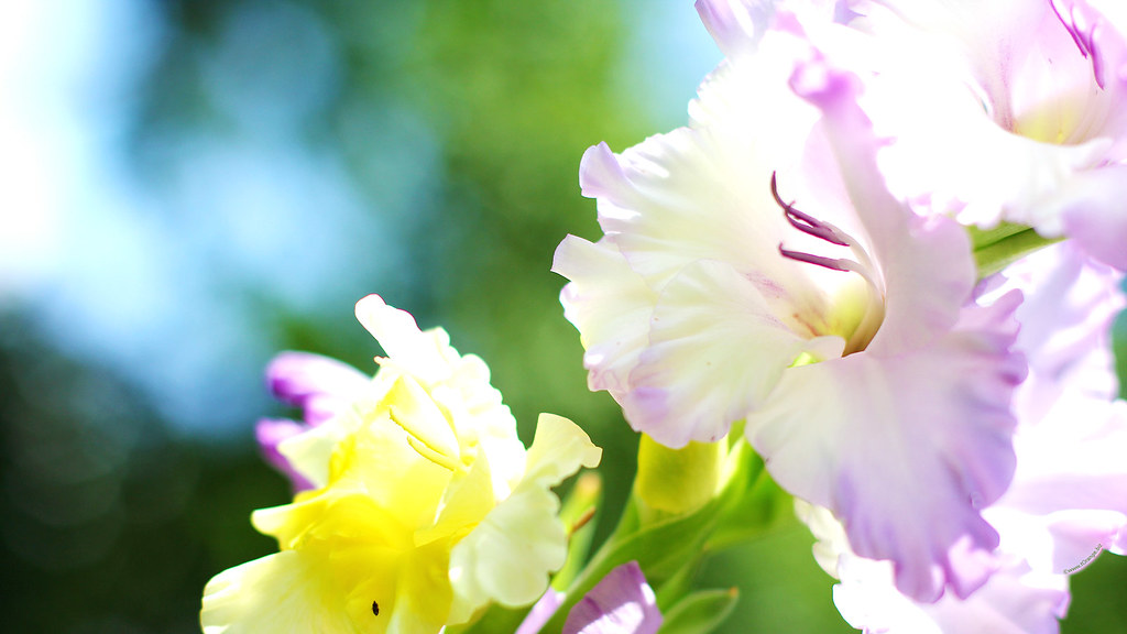 New Year 2014 Hd Wallpapers Gladiolus Flower 1920x1080 Hd Desktop Wallpapers For Wides