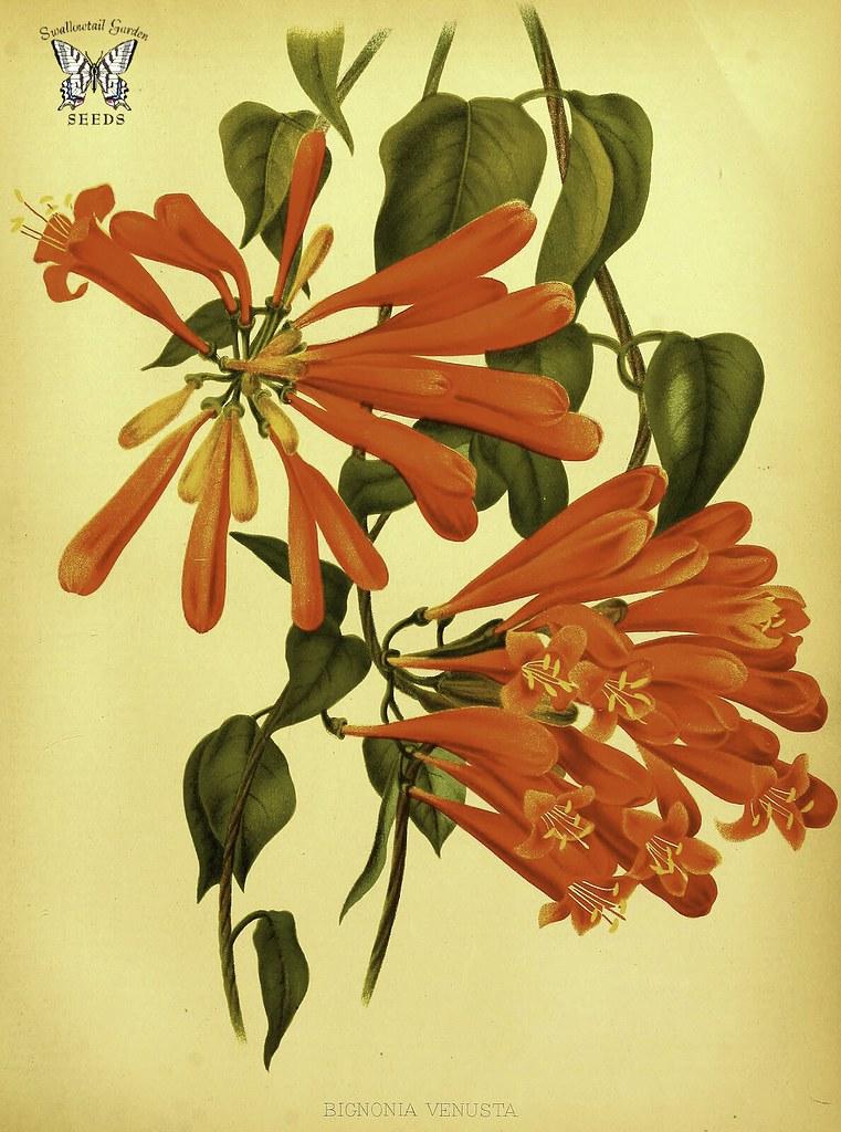 Flame vine Pyrostegia venusta as Bignonia venusta One o  Flickr