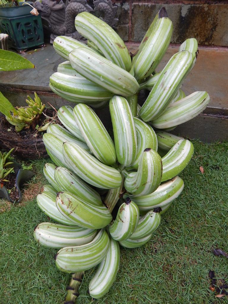 Maia Manini  Hawaiian Variegated Banana  This Hawaiian