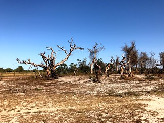 burnt trees in sandy plains in casamance