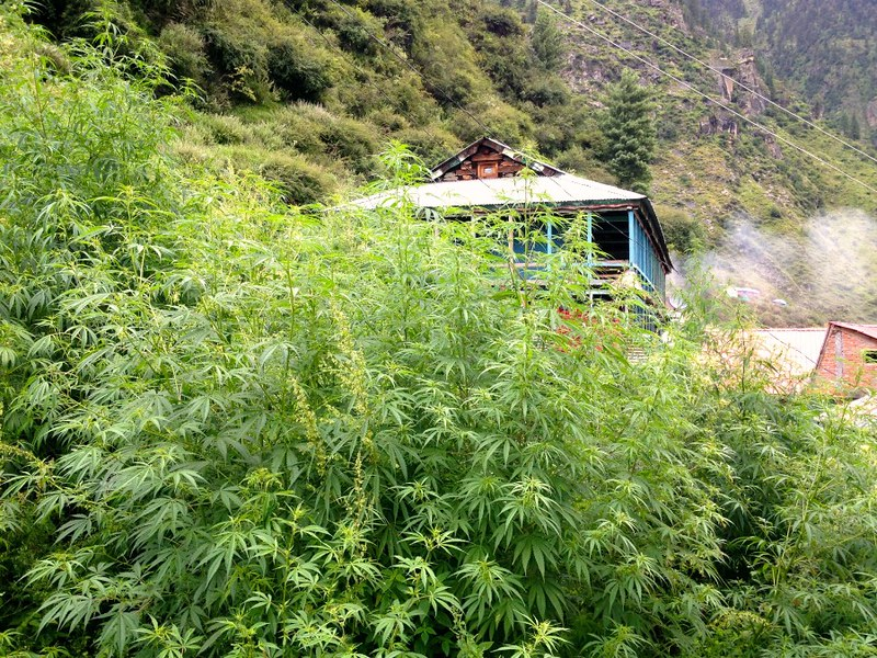 cannabis trees in malana village in himachal pradesh