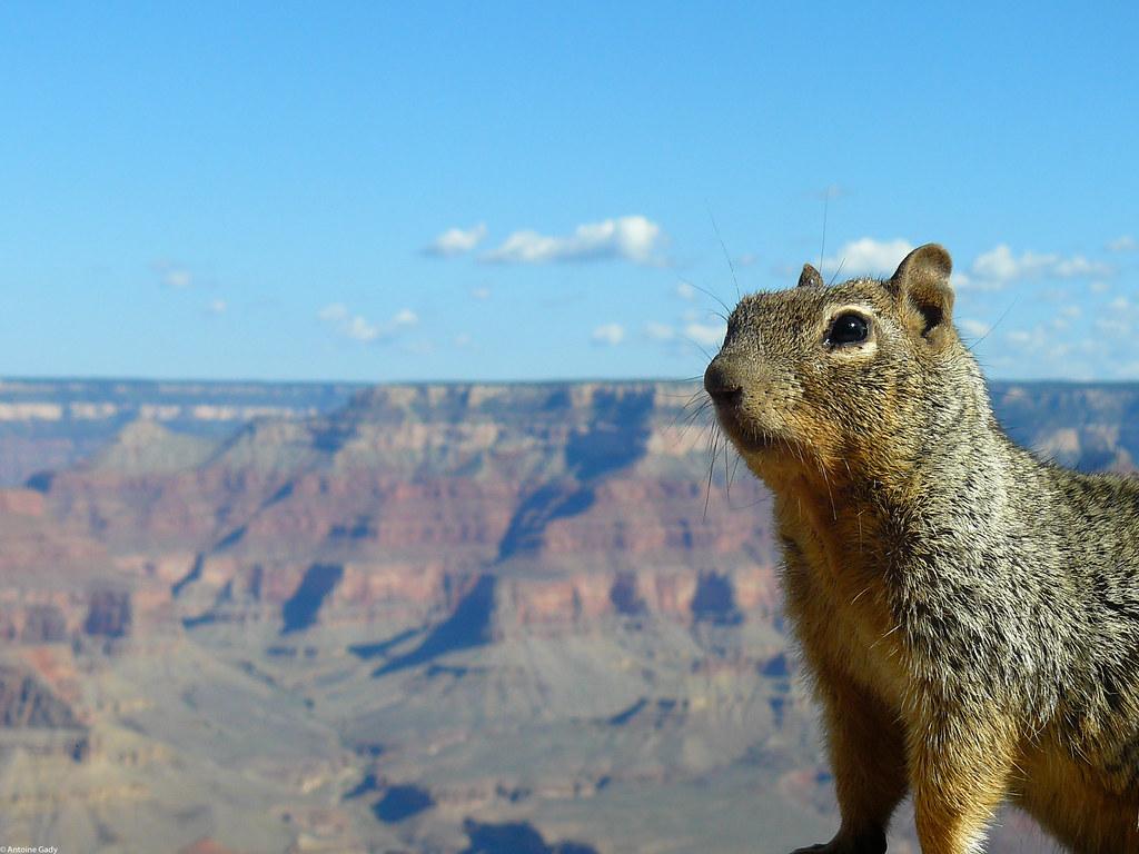 The Grand Canyon Squirrel 2 No Editing No Photoshop