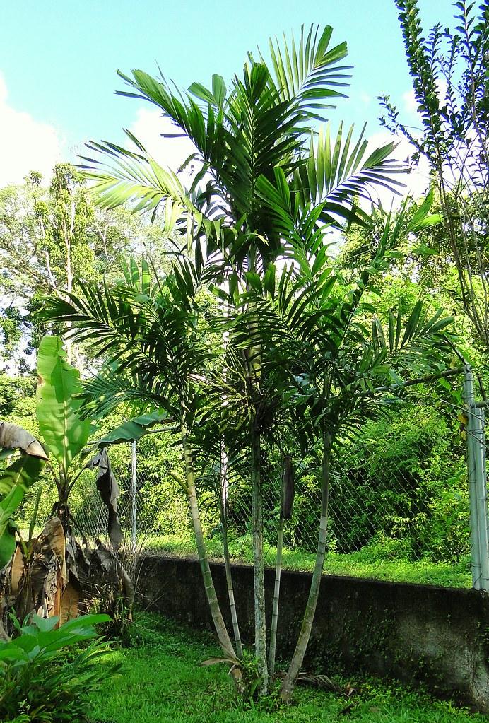 Palma bamb Macarthur Palm Ptychosperma macarthurii  Flickr