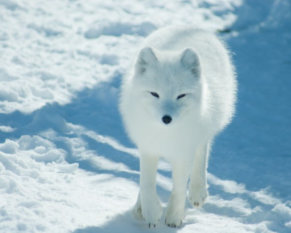 Arctic Fox Snow And Nose Two Eyes William Pitcher