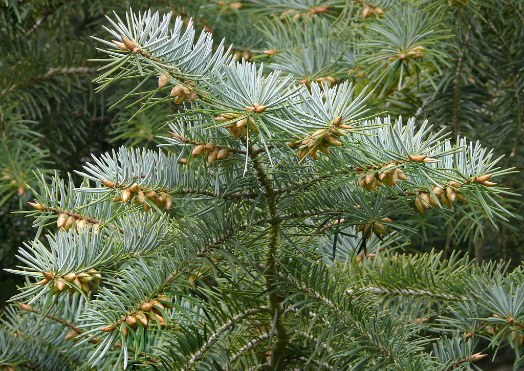 Abies bracteata 1  Best viewed  large size Pinaceae