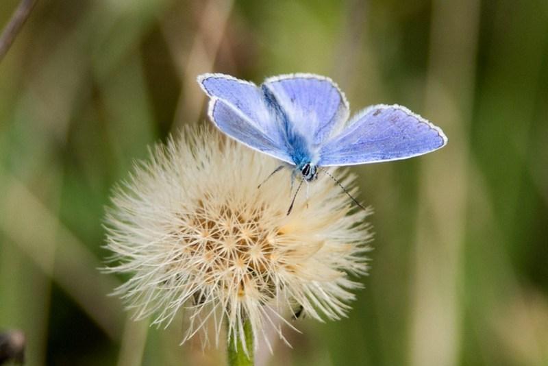 Male Adonis Blue on a seedhead