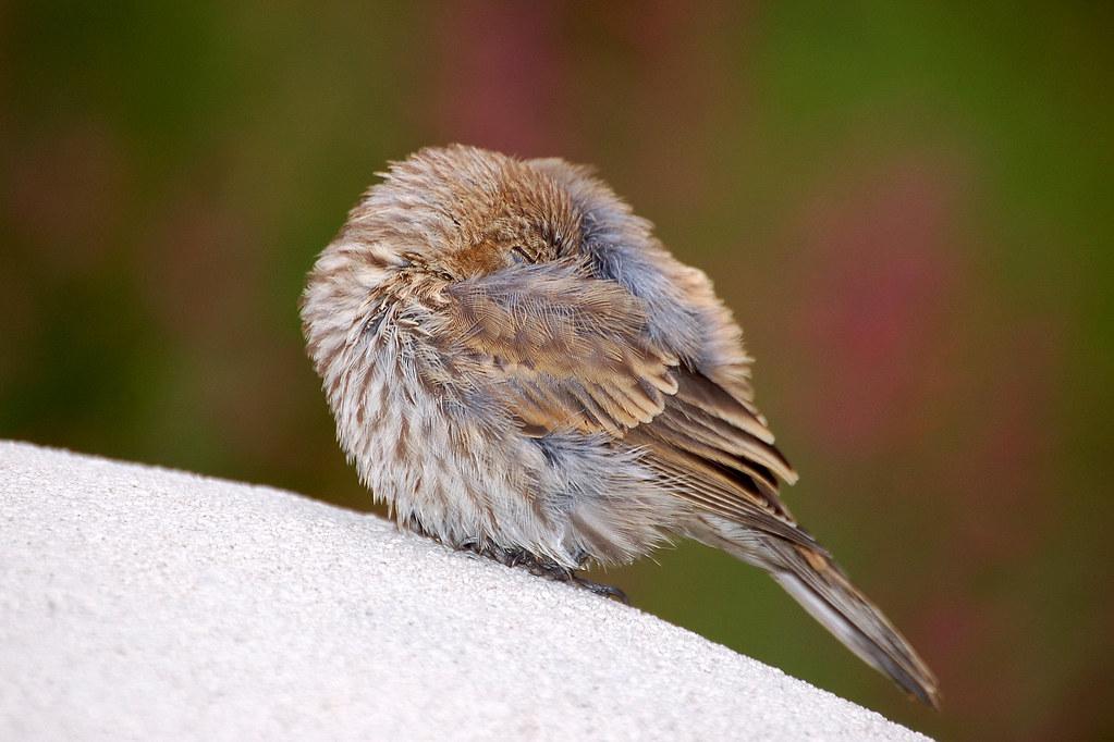 Sleeping Bird  aka Headless Bird  Larry Lamsa  Flickr