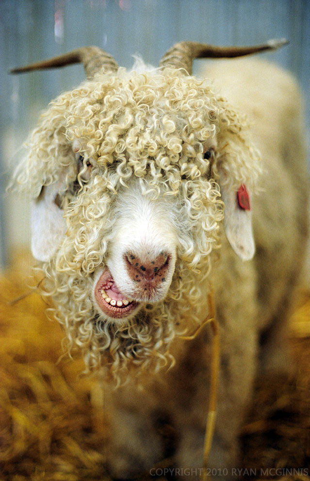Shaggy Goat The Best Haircut Ive Ever Seen On A Goat