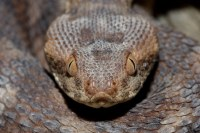 Carpet Viper (Echis coloratus terraescantae) | Beit She`an ...