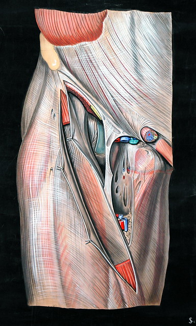Femoral triangle  Flickr  Photo Sharing